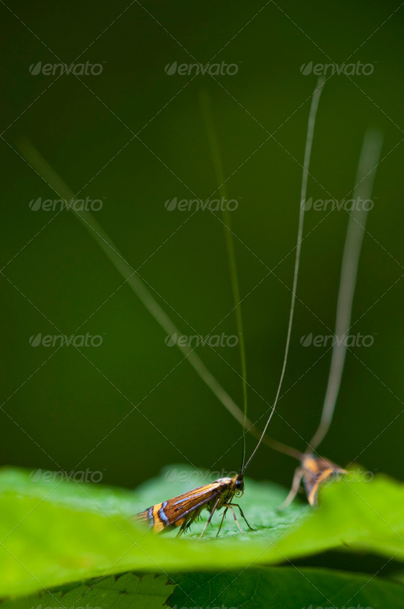 Male Longhorn Moth - Stock Photo - Images