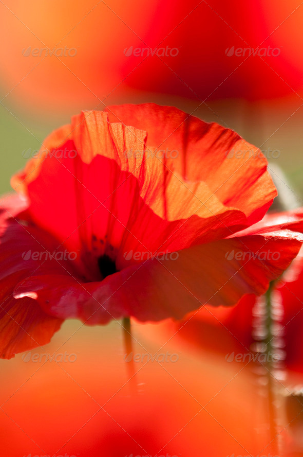 Poppy Flowers in Back Light - Stock Photo - Images