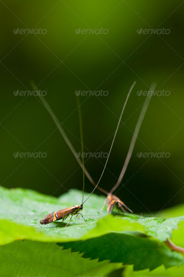 Male Longhorn Moths - Stock Photo - Images