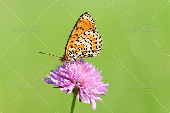 Btterfly on Pink Flower - Stock Photo - Images