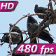 Pigeons on the Branches - VideoHive Item for Sale
