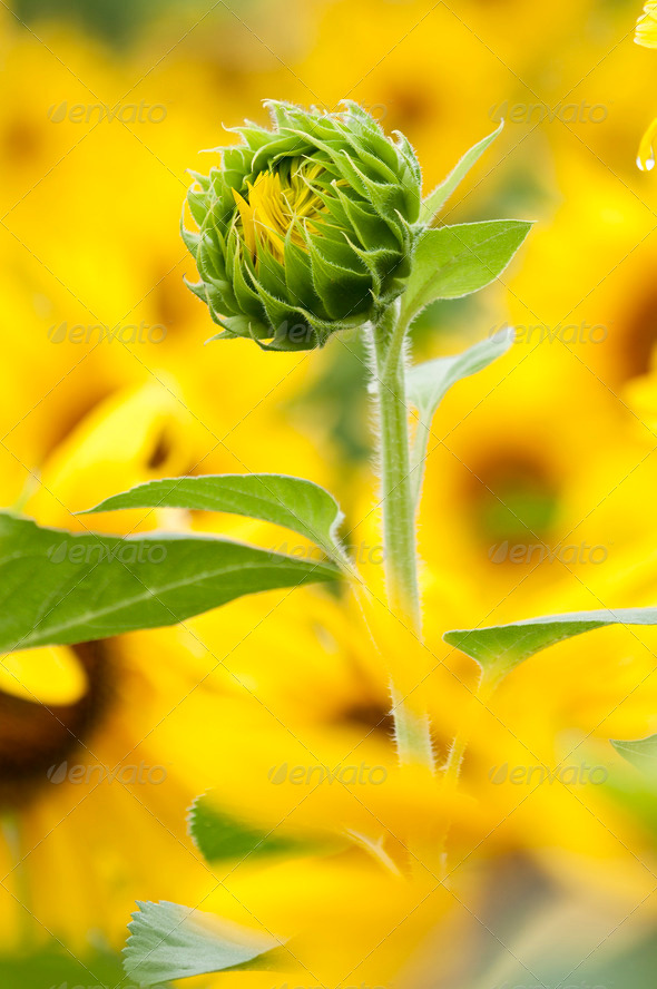 Sunflower in Full Bloom in Summer - Stock Photo - Images