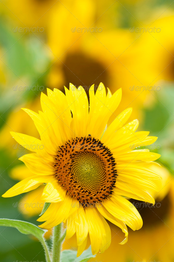 Sunflower in Full Bloom in Summer - Stock Photo - Images