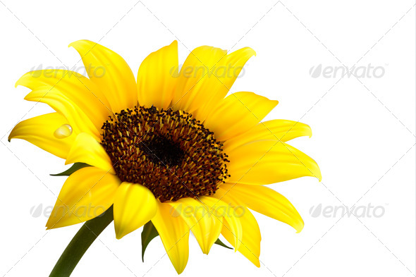 Background with Yellow Sunflower - Flowers & Plants Nature
