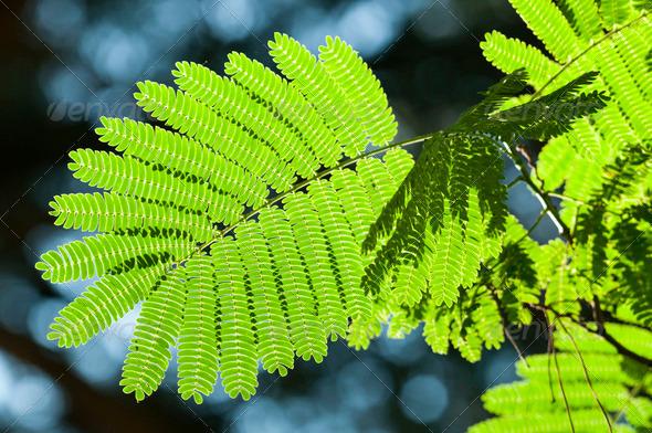Albizia Leaf in Back Light - Stock Photo - Images