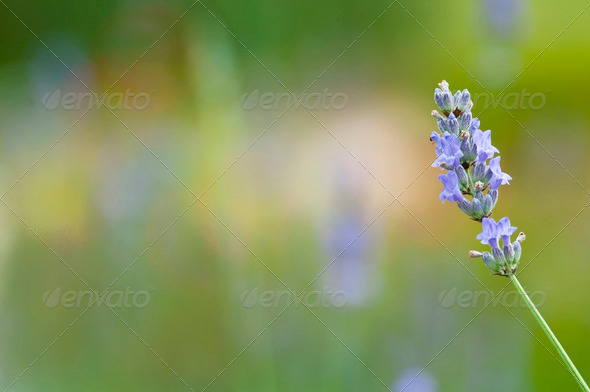 Lavender Flower - Stock Photo - Images