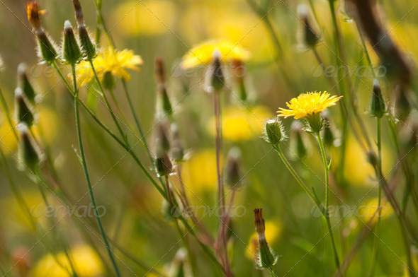 Dandelion Flower Field - Stock Photo - Images