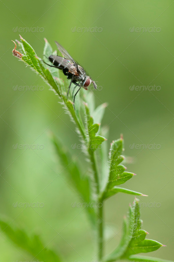 Fly on Spike - Stock Photo - Images