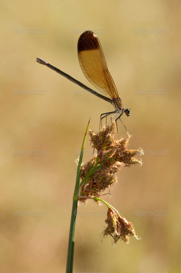 Damselfly Perched on Spike - Stock Photo - Images