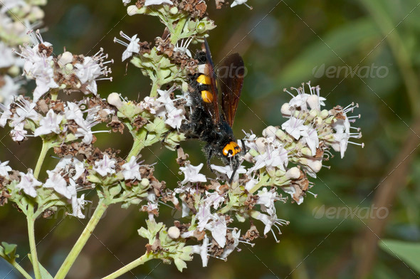 Potter Wasp - Stock Photo - Images