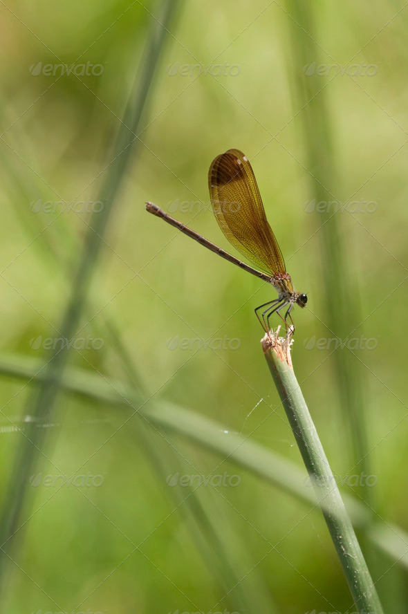 Damselfly on a Stick - Stock Photo - Images