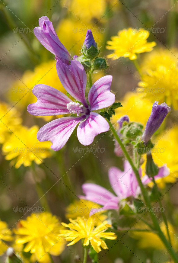 Mauve Flower in Dandelion Flower Field - Stock Photo - Images