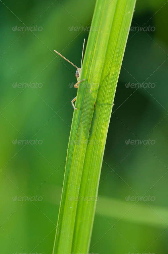 Grasshopper Hiding in Grass - Stock Photo - Images