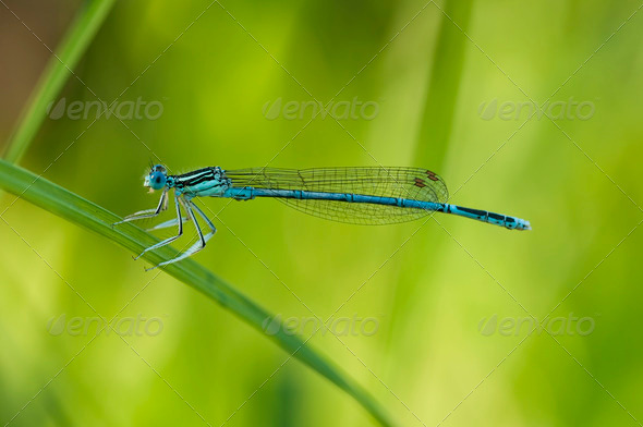 Damselfly on Blade of Grass - Stock Photo - Images
