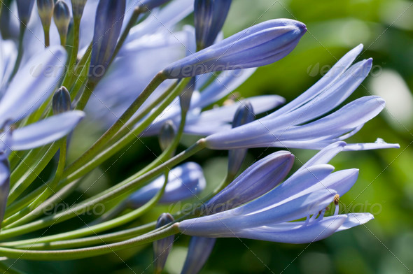 Blue allium Flowers - Stock Photo - Images