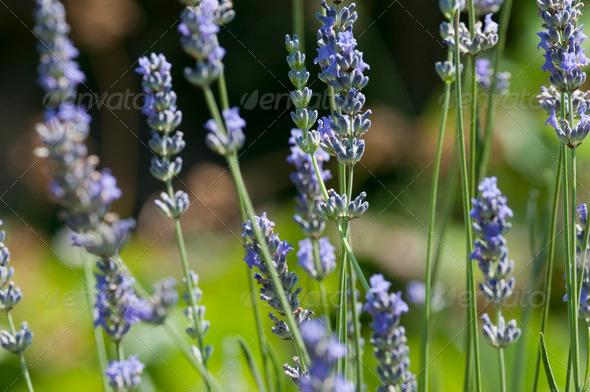 Lavander Flower Field - Stock Photo - Images