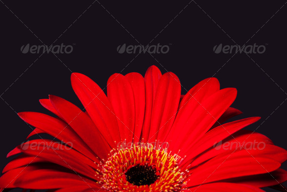 Red daisy gerbera flower - Stock Photo - Images