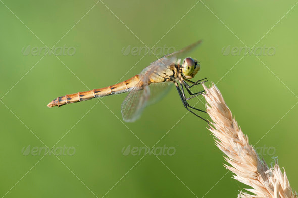 Dragonfly Perched on a Spike - Stock Photo - Images