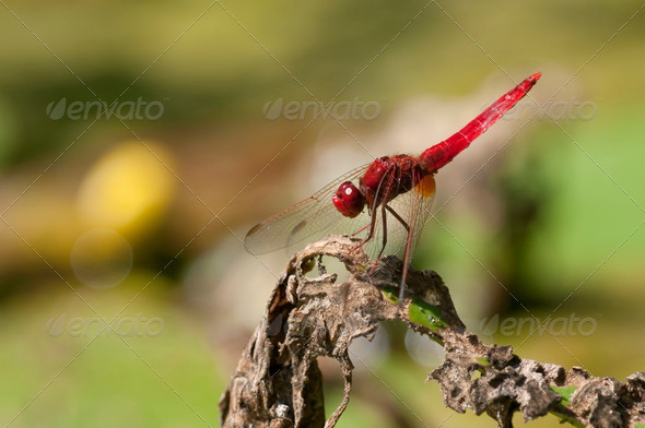 Red Dragondly Basking in the Sun - Stock Photo - Images