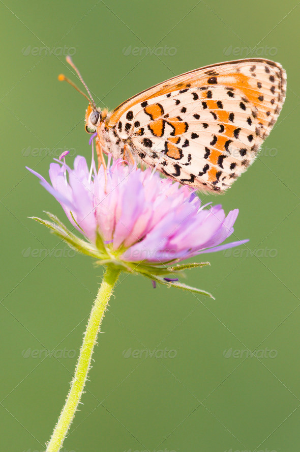 Fritillary Butterfly on a Purple Flower - Stock Photo - Images