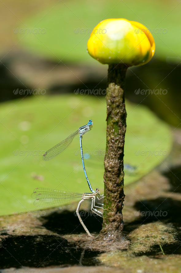 Mating Damselfly - Stock Photo - Images