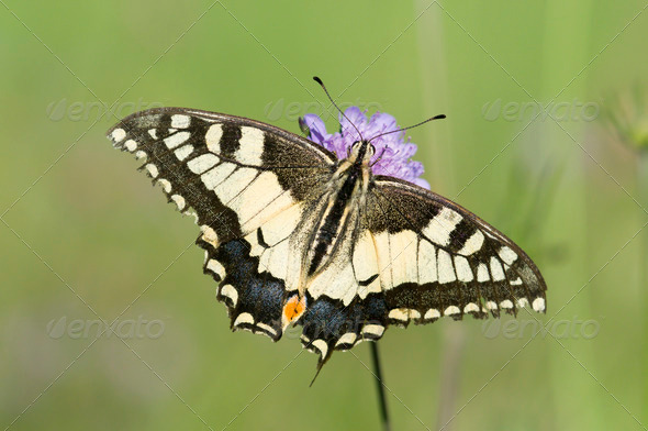 Scarce Swallowtail Butterfly on a Purple Meadow Flower - Stock Photo - Images