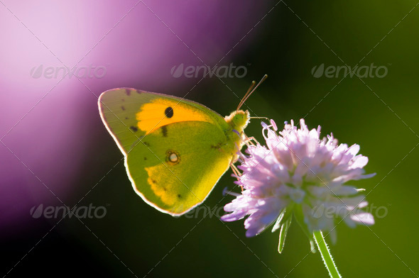 Colias Butterfly on a Purple Flower - Stock Photo - Images