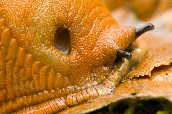 Red Slug Detail - Stock Photo - Images