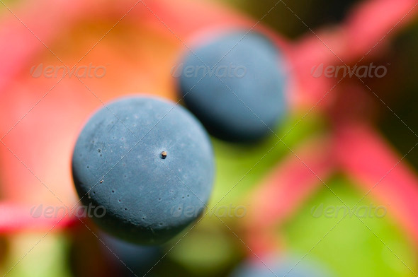 Virginia Creeper Berry - Stock Photo - Images