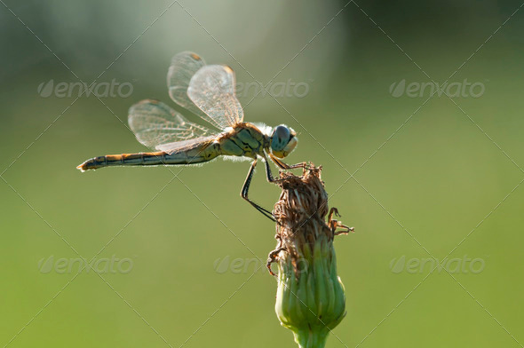 Dragonfly perched on a flower - Stock Photo - Images