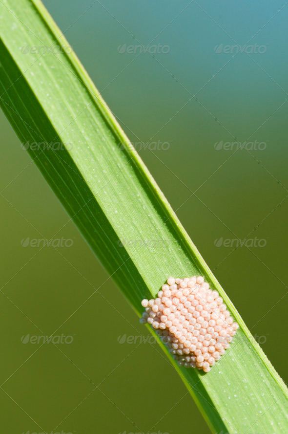 Butterfly Eggs on a Blade of Grass - Stock Photo - Images
