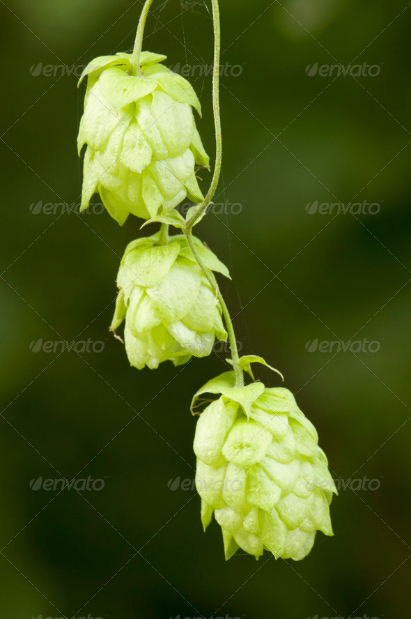 Hanging Green Flowers - Stock Photo - Images