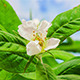 Medlar (Mespilus) Blossoming 4K - VideoHive Item for Sale