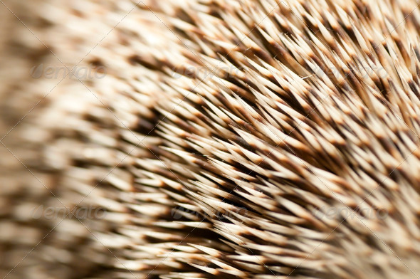 Spines of Hedghog - Stock Photo - Images