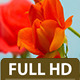 Rose Close Up Timelapse - VideoHive Item for Sale