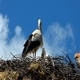 Stork with Babies 2 - VideoHive Item for Sale