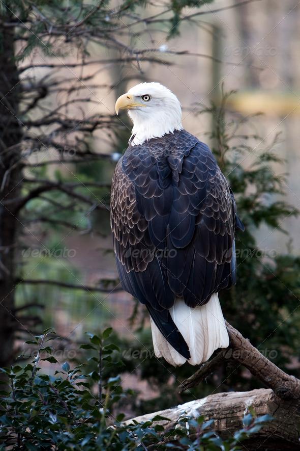 Bald Eagle - Stock Photo - Images