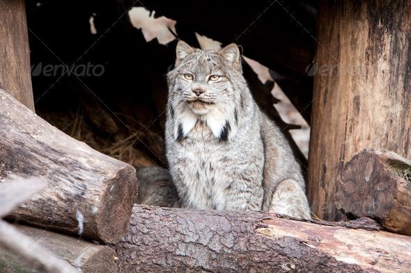 Lynx - Stock Photo - Images