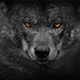 Wolf Looking Around With Fiery Eyes Abstract - VideoHive Item for Sale