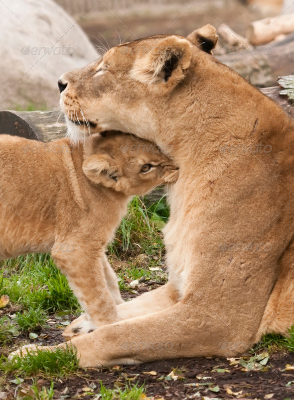 Female Lion with Young - Stock Photo - Images