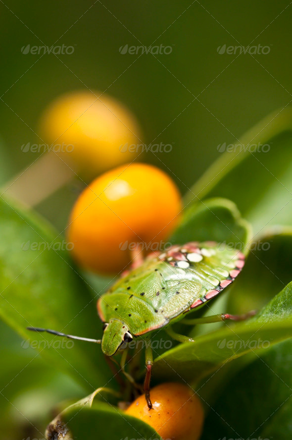 Green Shield Bug with Orange Berry - Stock Photo - Images