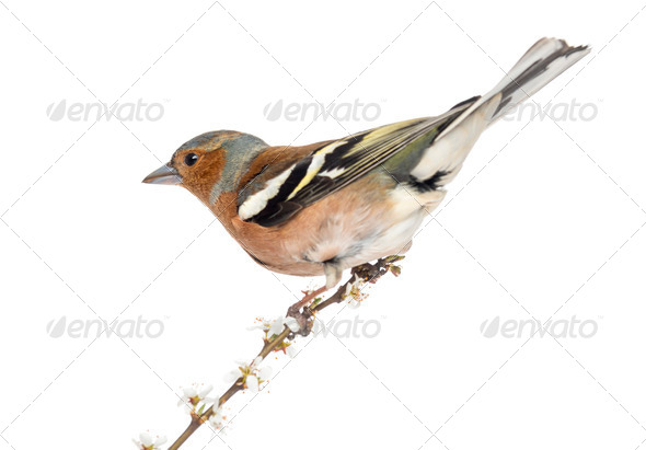 Common Chaffinch perched on branch, isolated on white - Fringilla coelebs - Stock Photo - Images