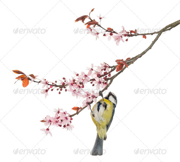 Blue Tit hanging on to a blossoming branch, Cyanistes caeruleus, isolated on white - Stock Photo - Images