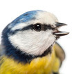 Close-up of a tweeting Blue Tit, Cyanistes caeruleus, isolated on white