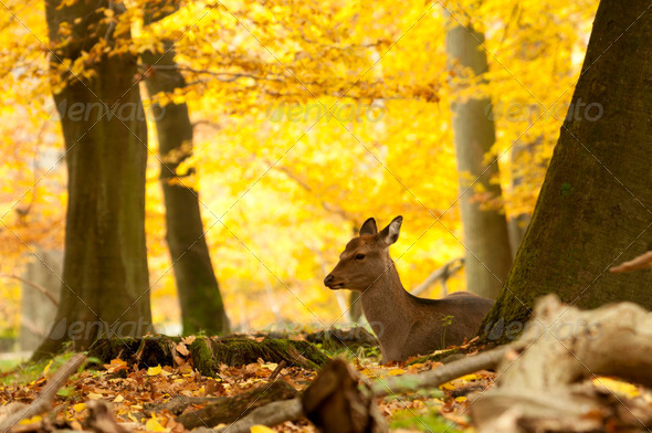 Fallow Deer - Stock Photo - Images