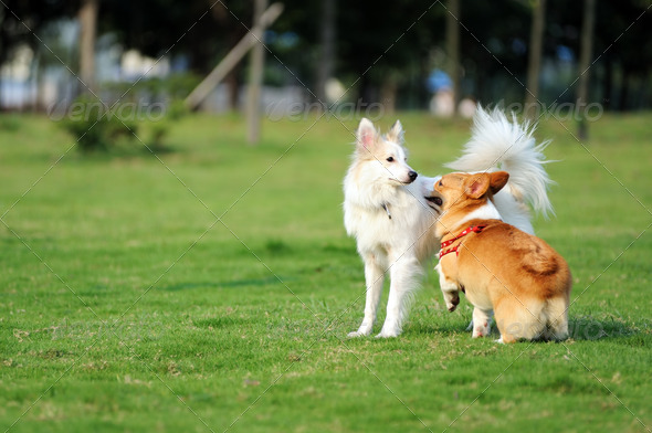 Two dogs playing - Stock Photo - Images