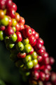 Coffee beans ripening on a tree - PhotoDune Item for Sale