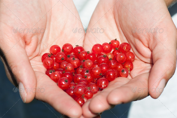 Currants in the hands - Stock Photo - Images