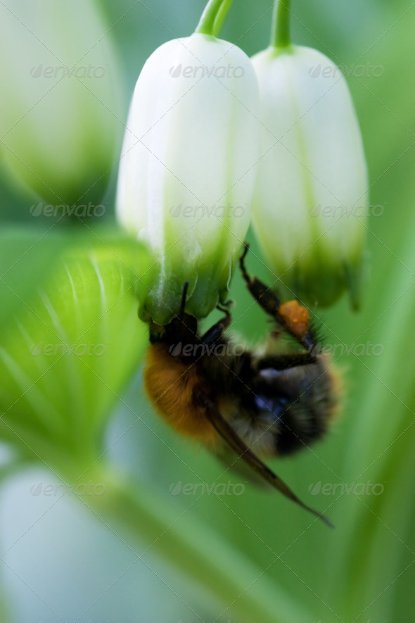 Bumble-bee - Stock Photo - Images