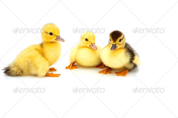 Three little duckling - Stock Photo - Images